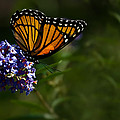 Monarch Butterfly by  Onyonet  Photo Studios