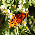 Monarch Butterfly by Paul Wilford