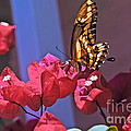 Swallowtail Butterfly by Robert Bales
