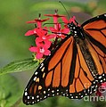 Monarch Butterfly by Sabrina L Ryan