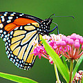 Monarch Butterfly Simple Pleasure by Christina Rollo