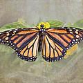 Monarch Butterfly by TN Fairey