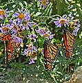 Monarch Butterfly Trio by Susan Wiedmann