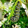 Monarch Caterpillar 5 by Lizi Beard-Ward
