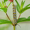 Monarch Caterpillar And Milkweed by Steve Augustin