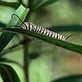 Monarch Caterpillar by William Morgan