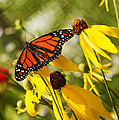 Monarch Days 1 by Jayne Gohr