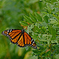 Monarch by Ernie Echols