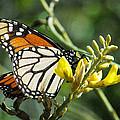 Monarch Feeding by Norman Johnson
