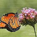 Monarch Flutterby by Grace Dillon
