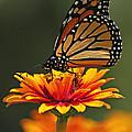 Monarch by Gene Tatroe