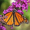 Monarch Hangs On To Buddleia by MTBobbins Photography