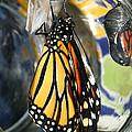 Monarch In A Jar by Steve Augustin