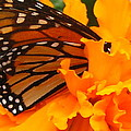 Monarch In The Marigold by Tim  Canwell