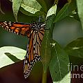 Monarch In The Shade by Photos By  Cassandra