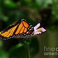 Monarch by Kitrina Arbuckle