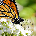 Monarch Moment by Lori Tambakis