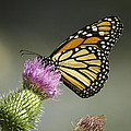 Monarch Of The Wild by Thomas Young