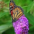 Monarch On A Butterfly Bush by Heather Allen