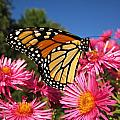 Monarch On Pink Asters by MTBobbins Photography