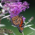 Monarch On Butterfly Bush by Karen Adams