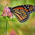 Monarch On Clover by Ann Bridges