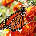 Monarch On Marigold by William Selander