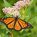 Monarch On Pink by Dale Nelson