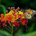 Monarch On Pride Of Barbados by Allen Sheffield
