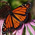 Monarch On Purple Coneflower by Barbara McMahon