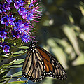 Monarch On Purple Flower by Tony Campbell