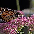 Monarch On Sedum by Shelly Gunderson