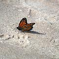 Monarch On The Beach by Linda Kerkau