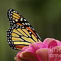 Monarch On Zinnia by Kitrina Arbuckle