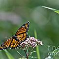 Monarch Perch by Cheryl Baxter