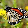 Monarch by Rachel Bazarow