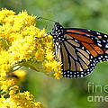 Monarch Resting by Merrilyn Parry