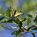 Monarch Tranquility by Dee Carpenter