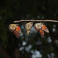 Monarch Trio by Shelly Gunderson
