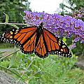 Monarch Under Flowers by MTBobbins Photography