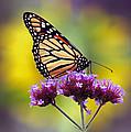 Monarch With Sunflower by Karen Adams