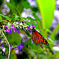 Monarch With Sweet Nectar by Marilyn Holkham