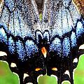 Monarchs Blue Glow by Kim Galluzzo Wozniak