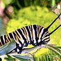 Monarch's Caterpillar.nz by Jennie Breeze