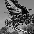 Swallotail In Black And White by Kim Galluzzo Wozniak