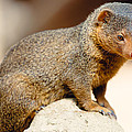 Mongoose by Pati Photography
