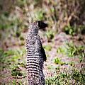 Mongoose Standing. Safari In Serengeti by Michal Bednarek