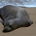 Monk Seal Sunning by Brian Harig