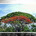 Monkey Pod Trees - Kona Hawaii by Paulette B Wright