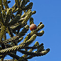 Monkey Puzzle Tree A by Tikvah's Hope